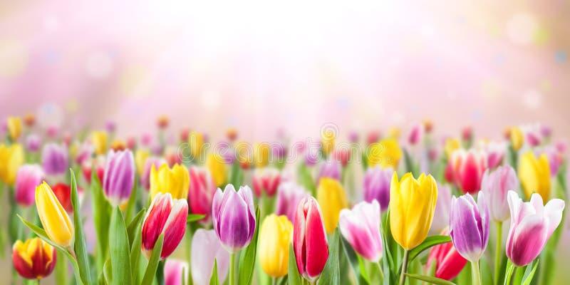 A tulipa floresce o prado, fundo da mola imagens de stock royalty free