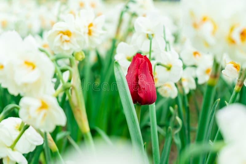 Tulipa francesa vermelha que cresce entre os narcisos amarelos brancos em um campo de flor, visto em um festival da tulipa Exibiç fotos de stock royalty free