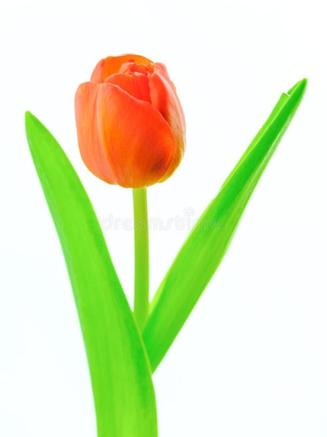 Tulipa - fundo branco imagem de stock