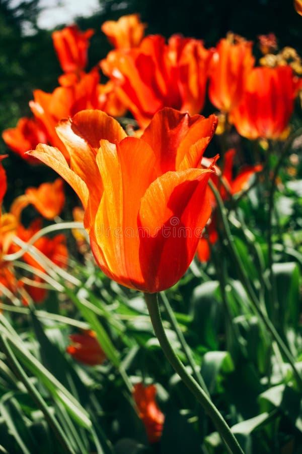 Tulipa praestans De tulpenbloemen zijn helder rood in kleur met oranje tinten van bloemblaadjes in de zon stock fotografie