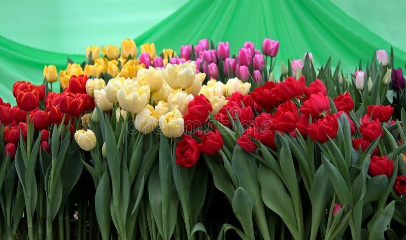 Tulipa Ramalhete bonito dos tulips imagens de stock