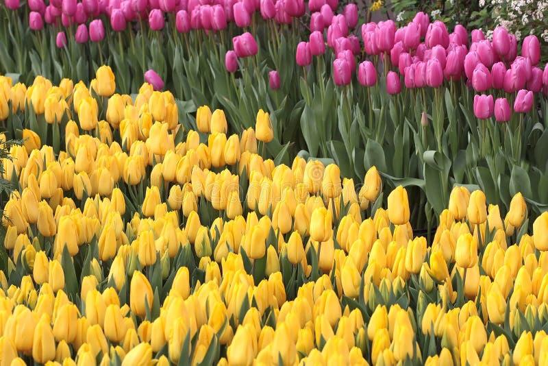 Tulipa Ramalhete bonito dos tulips foto de stock