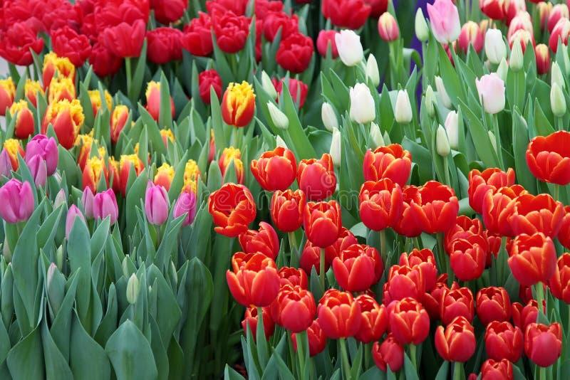 Tulipa Ramalhete bonito dos tulips fotografia de stock