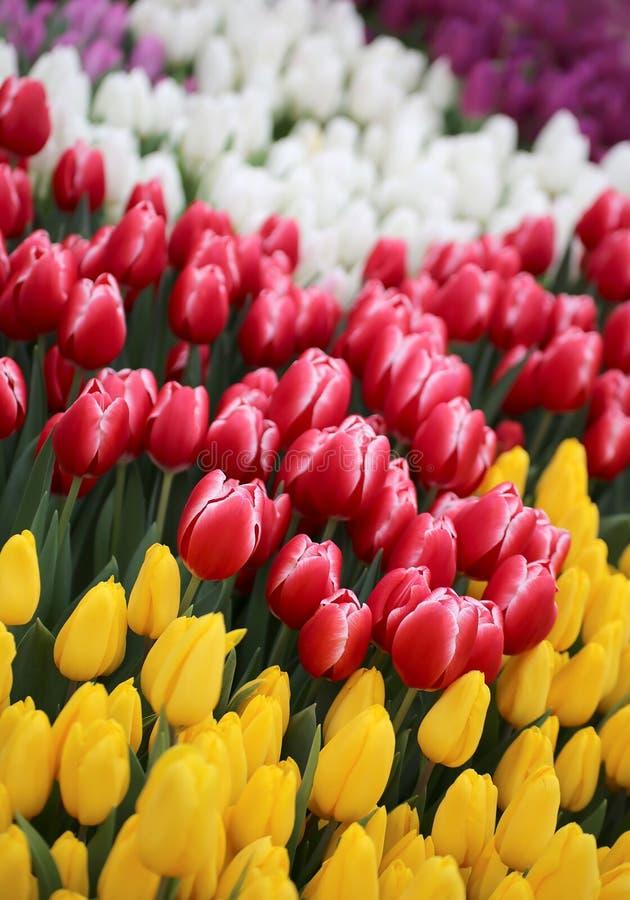 Tulipa Ramalhete bonito dos tulips imagens de stock royalty free