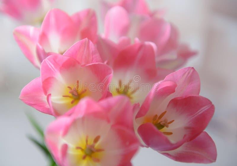 Tulipa Ramalhete bonito dos tulips Tulips coloridos foto de stock