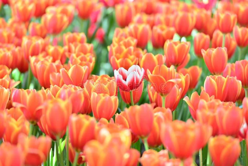Tulipa Ramalhete bonito dos tulips Tulips coloridos Tulipas na mola, tulipa colorida com fundo borrado imagens de stock royalty free