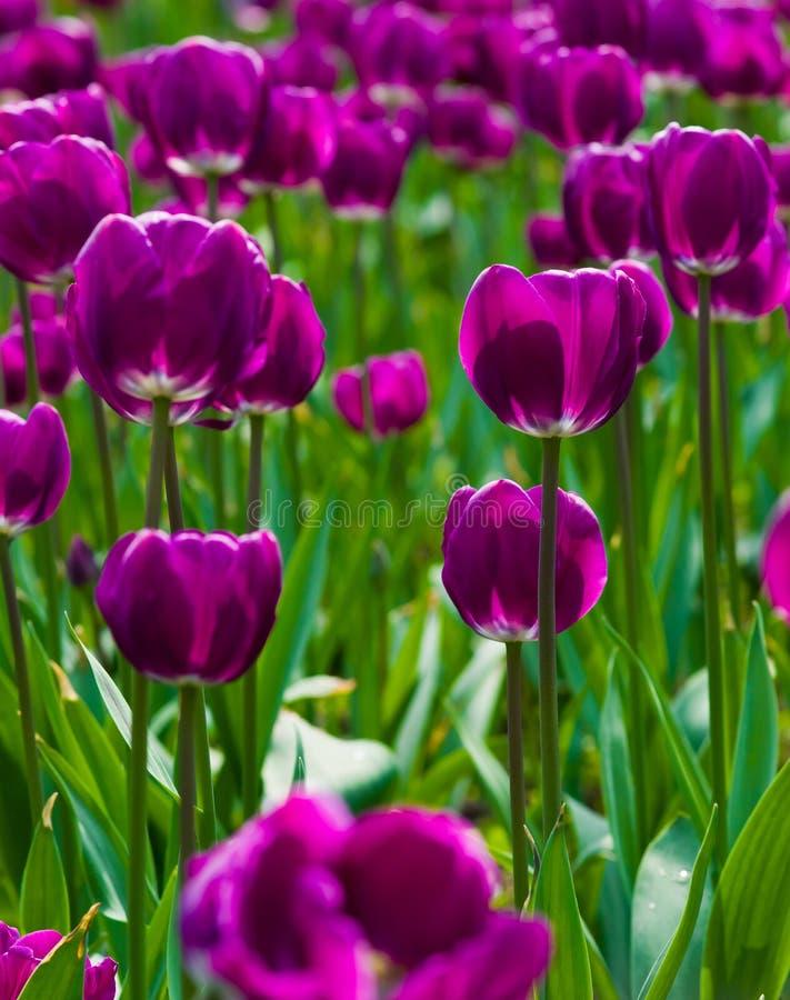 Tulipa roxa imagem de stock royalty free