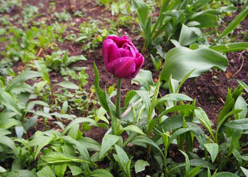 Tulipa roxa bonita com as gotas da chuva imagem de stock