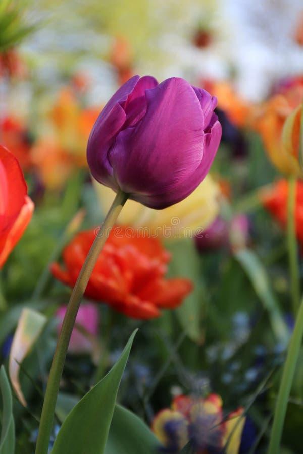 Tulipa roxa em Keukenhof foto de stock