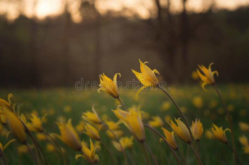 Tulipa scythica sylvestris ? fotografia stock