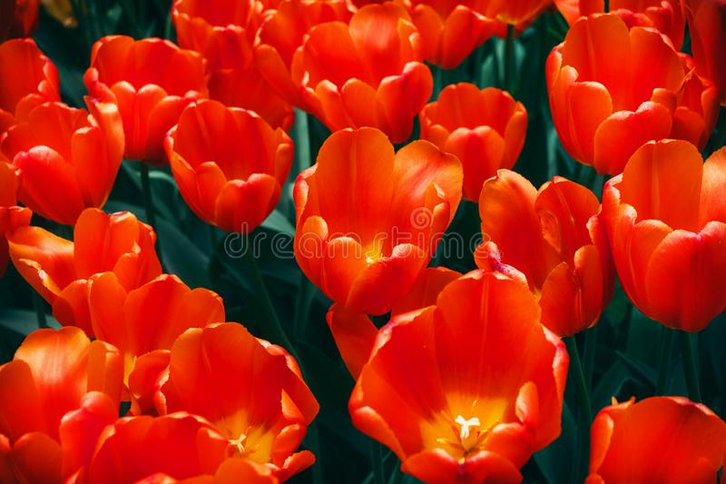 Tulipa Single Early. Tulip is a group of colors of lush red with a yellow heart. stock image