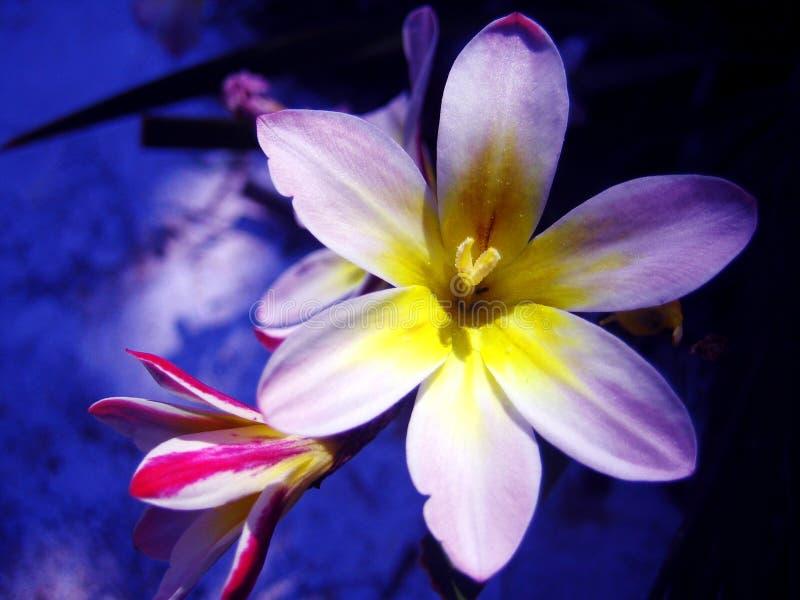 Tulipa tarda der hintergrund- und Tapetenschönen kunst wilder Blume Makrodrucke lizenzfreies stockbild