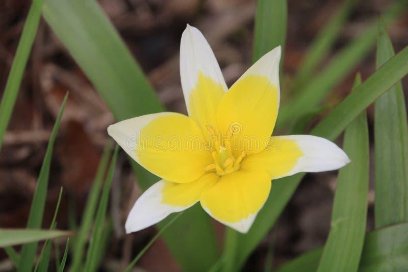 Tulipa tarda Makro stockbild