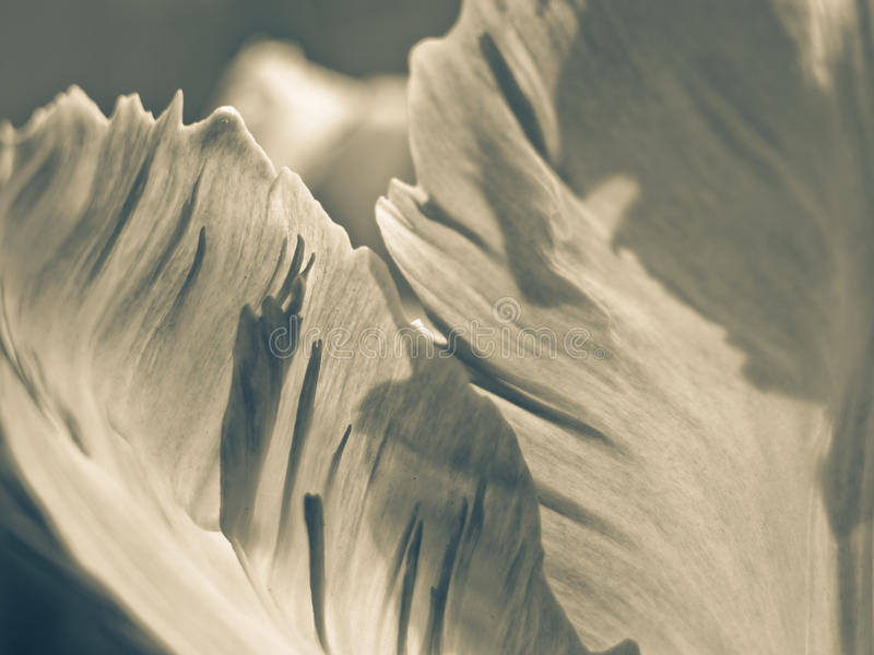 Tulipa (Tulipa) (104), close-up foto de stock