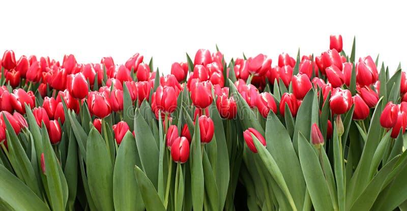 Tulipa Tulipas vermelhas bonitas isoladas no fundo branco fotografia de stock