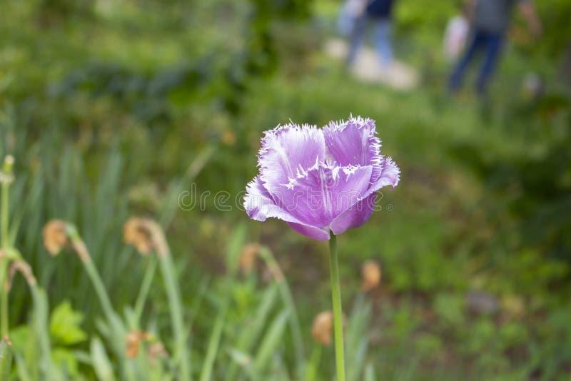 A tulipa varietal da agulha da garça-real azul, grande cabeça da tulipa cresce em um jardim exterior, cartão horizontal da foto foto de stock