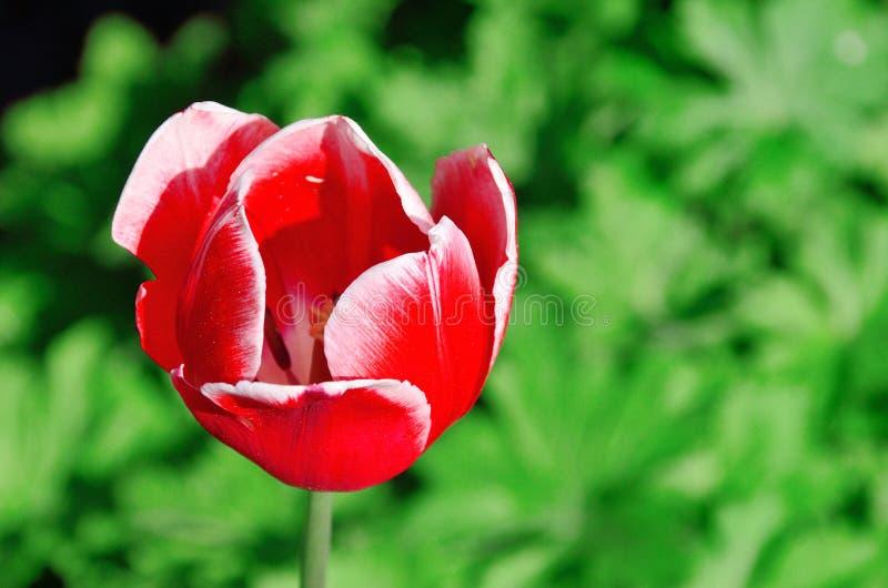 Tulipa vermelha foto de stock royalty free