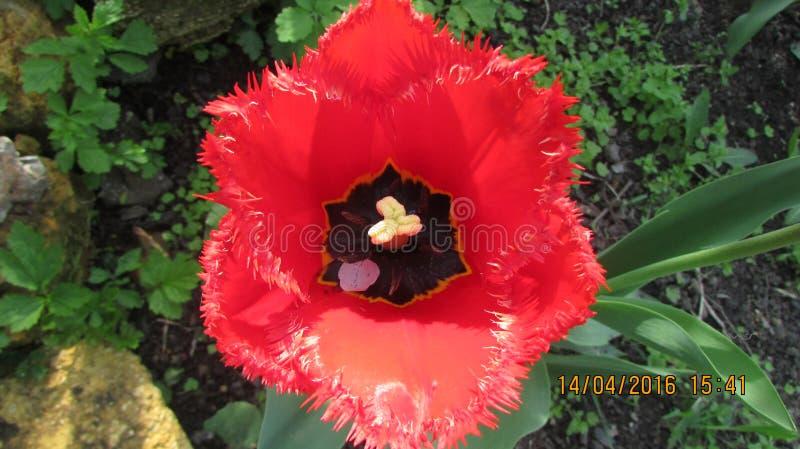 Tulipa vermelha imagens de stock royalty free