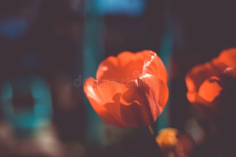 A tulipa vermelha de floresc?ncia imagem de stock royalty free
