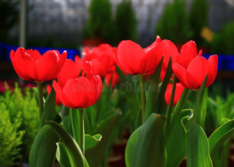 Tulipa vermelha do sangue fotografia de stock