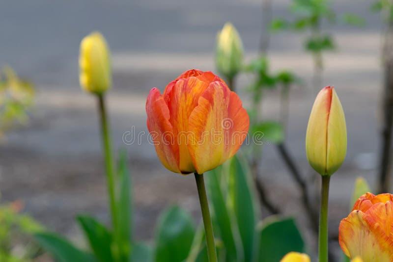 Tulipa vermelha e amarela do fogo imagem de stock royalty free