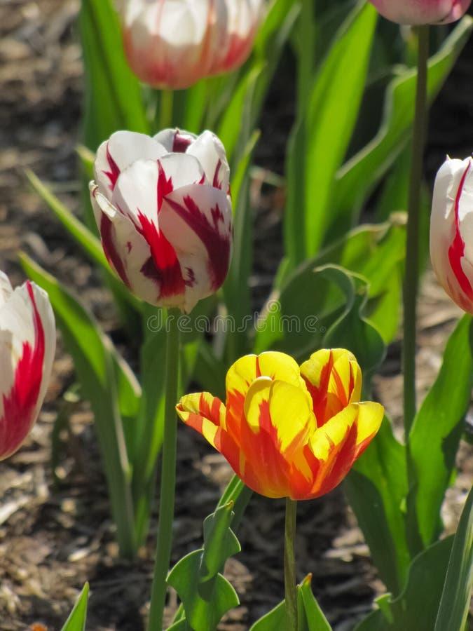 Tulipa vermelha e branca com a tulipa amarela e alaranjada foto de stock royalty free
