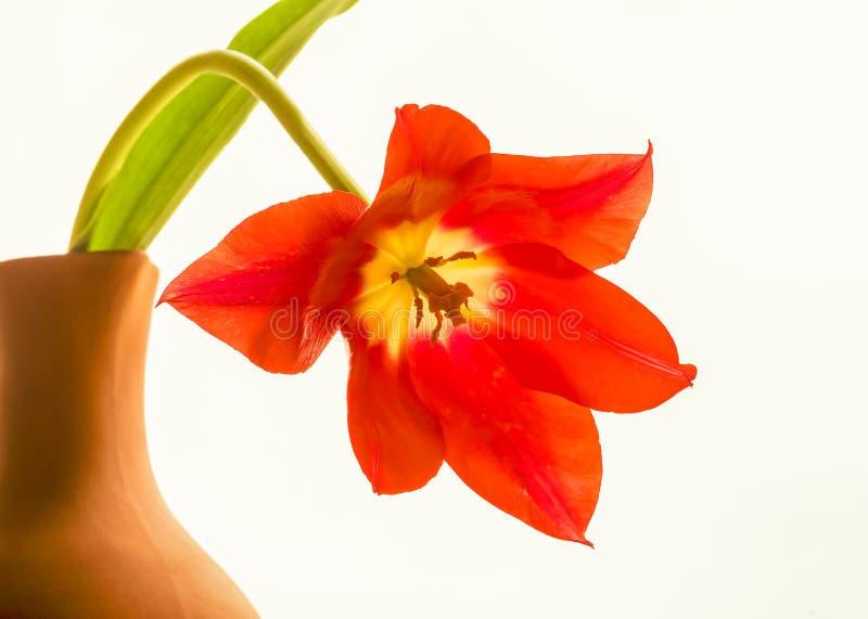 Tulipa vermelha em um close up do frasco imagens de stock royalty free