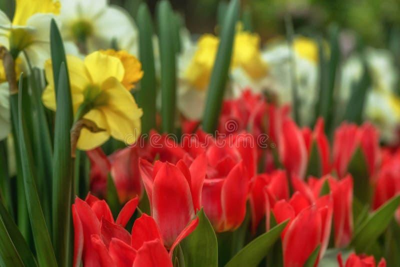 A tulipa vermelha floresce na abóbada Pavillion da flor em Singapura fotografia de stock