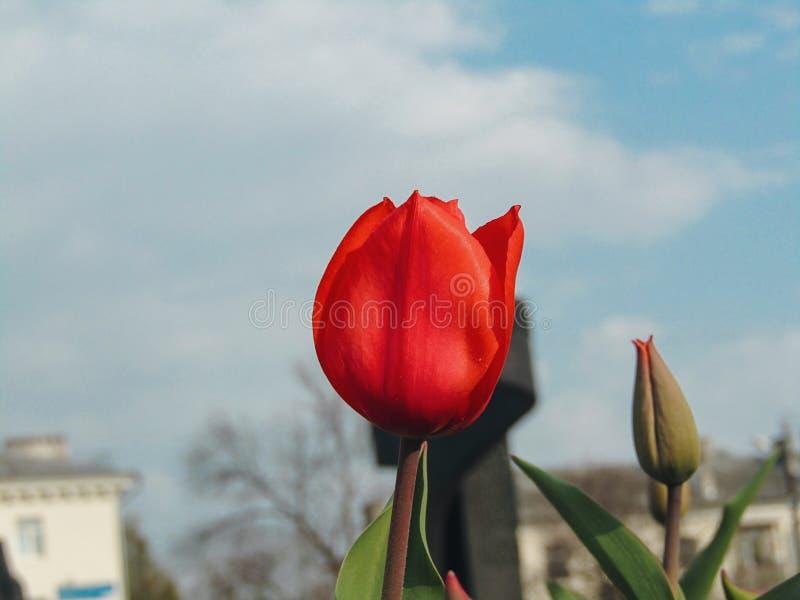 Tulipa vermelha que floresce durante a mola imagem de stock