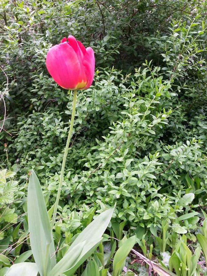 Tulipa vermelha só imagem de stock