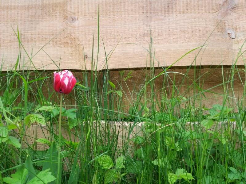 Tulipa vermelha só na frente do backgroud de madeira fotos de stock
