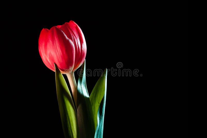 Tulipa vermelha vívida no fundo preto imagens de stock royalty free