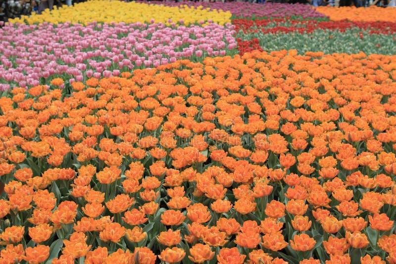 Tulipagesneriana stock fotografie