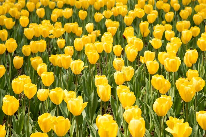 Tulipagesneriana stock afbeelding