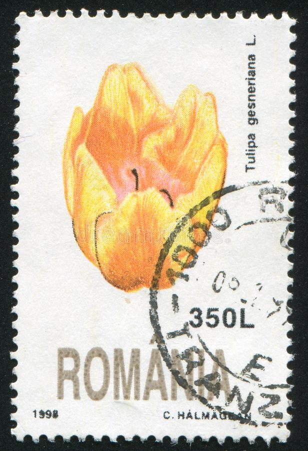 Tulipagesneriana royalty-vrije stock foto's