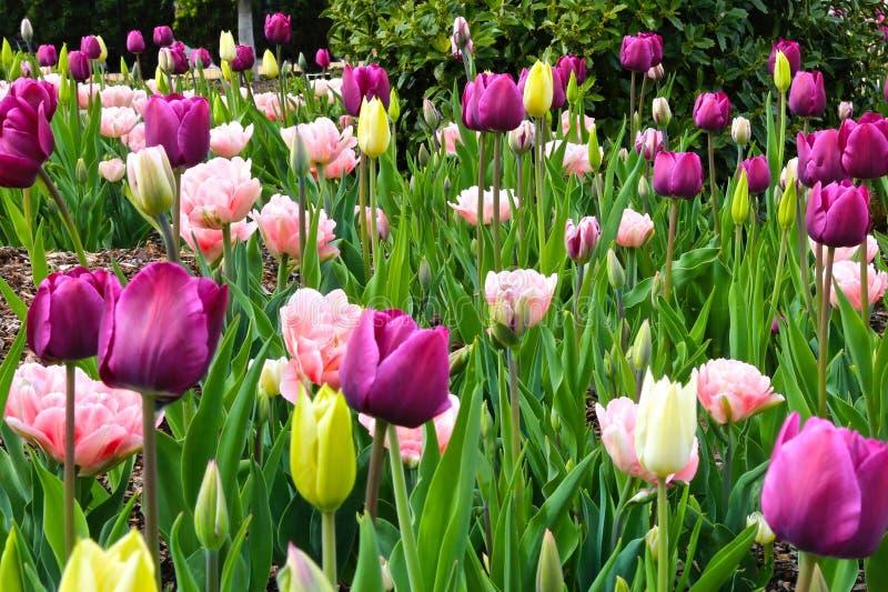 Tulipanów goździków kwiaty fotografia royalty free