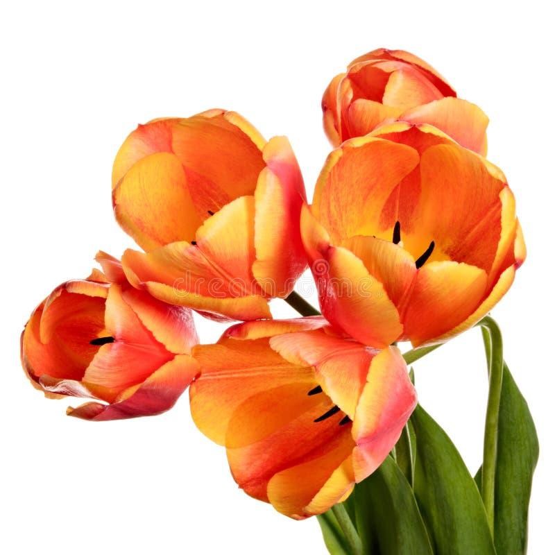 Tulipanów kwiaty odizolowywający na białym tle obraz stock