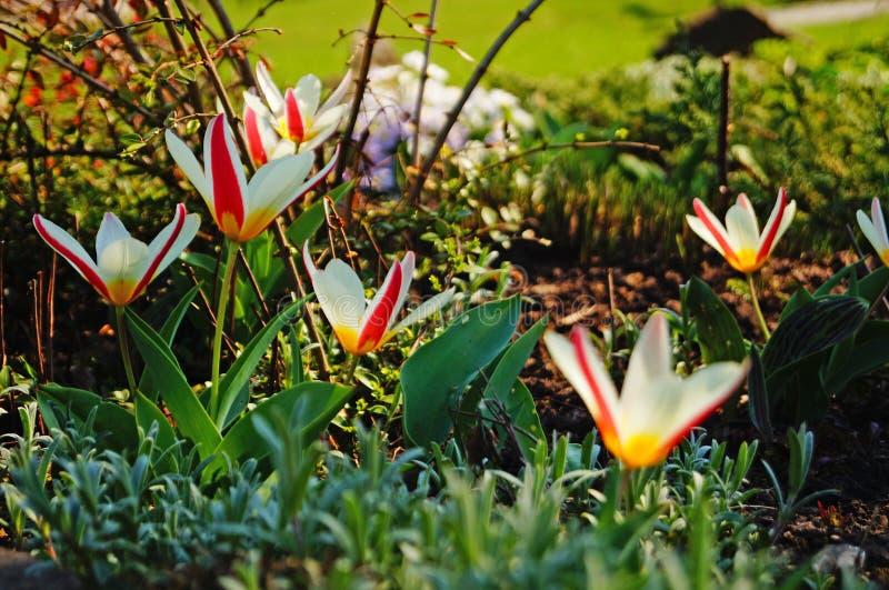 Tulipanów kwiaty z płatkami, kolor żółty i ześrodkowywają fotografia royalty free