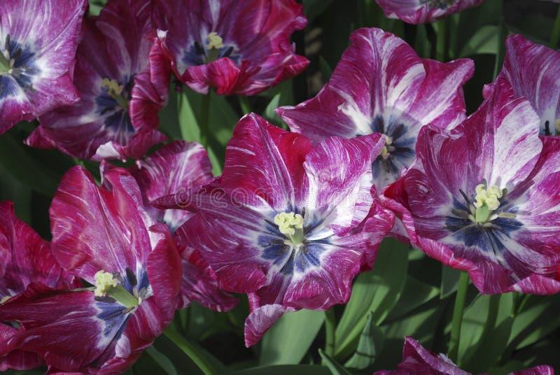 Tulipanów 2040-NC-98-11 kwiecenie zdjęcie stock