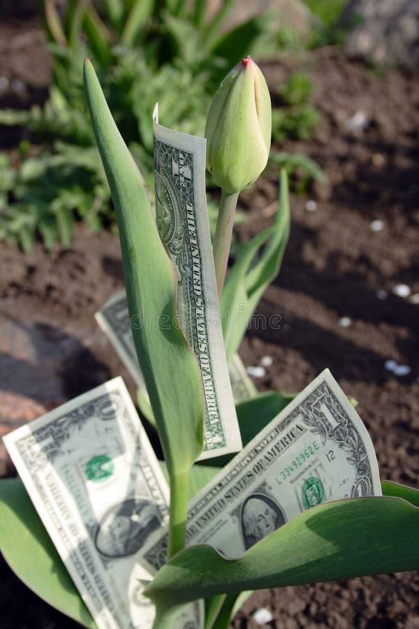 tulipanów pączkowi dolary zdjęcia stock