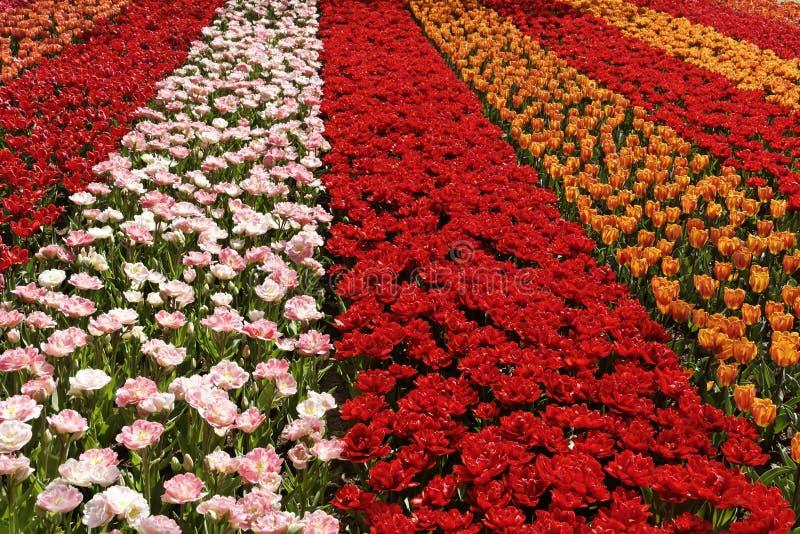 Tulipan śródpolny pobliski Lisse, Południowy Holandia, holandie zdjęcie stock