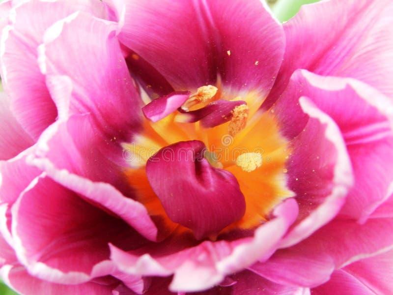 Tulipan royaltyfri foto