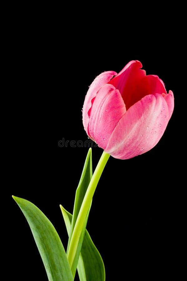 tulipan zdjęcia stock