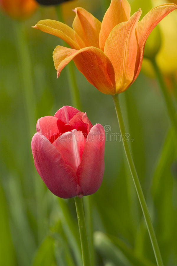 Download Tulipan Stock Photography - Image: 504362