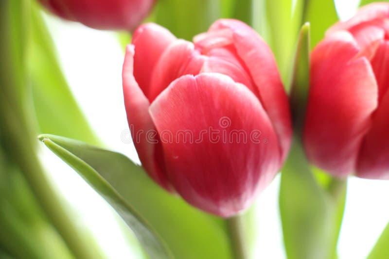 Tulipan obrazy stock