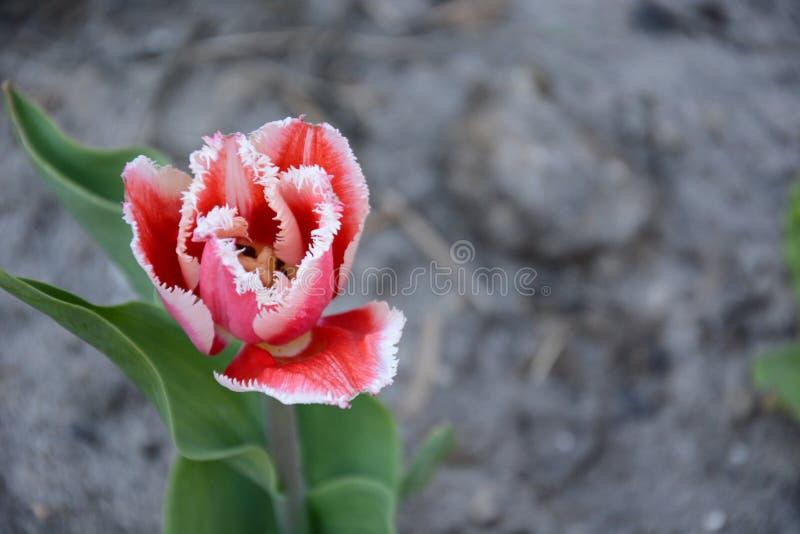 Download Tulipan obraz stock. Obraz złożonej z okwitnięcie, natura - 53777675
