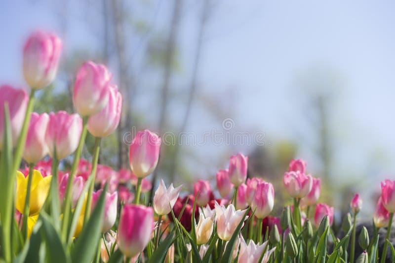 Download Tulipan obraz stock. Obraz złożonej z liść, menchie, romantyczny - 53790039