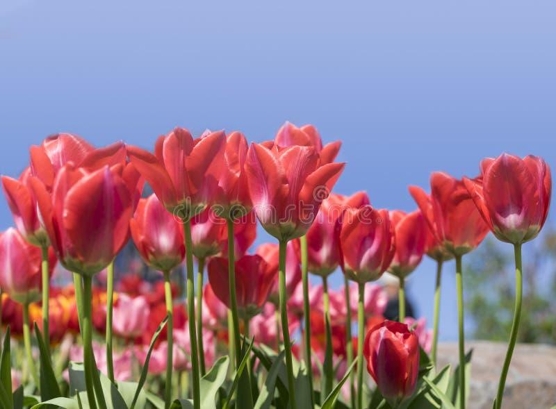 Download Tulipan obraz stock. Obraz złożonej z piękno, świeży - 53790389
