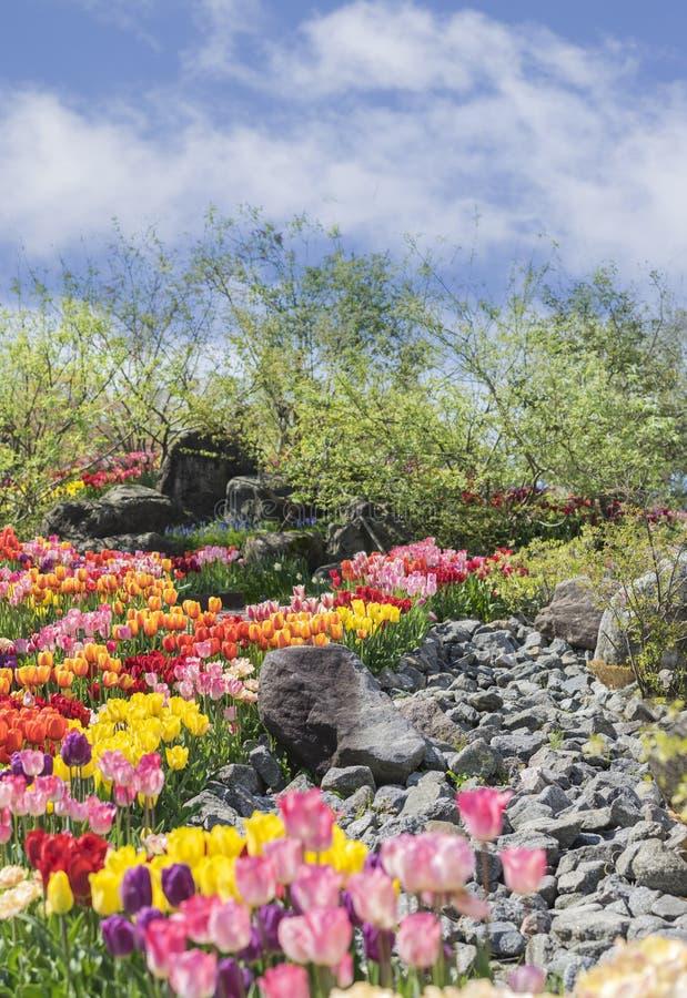Download Tulipan zdjęcie stock. Obraz złożonej z macro, holland - 53790428