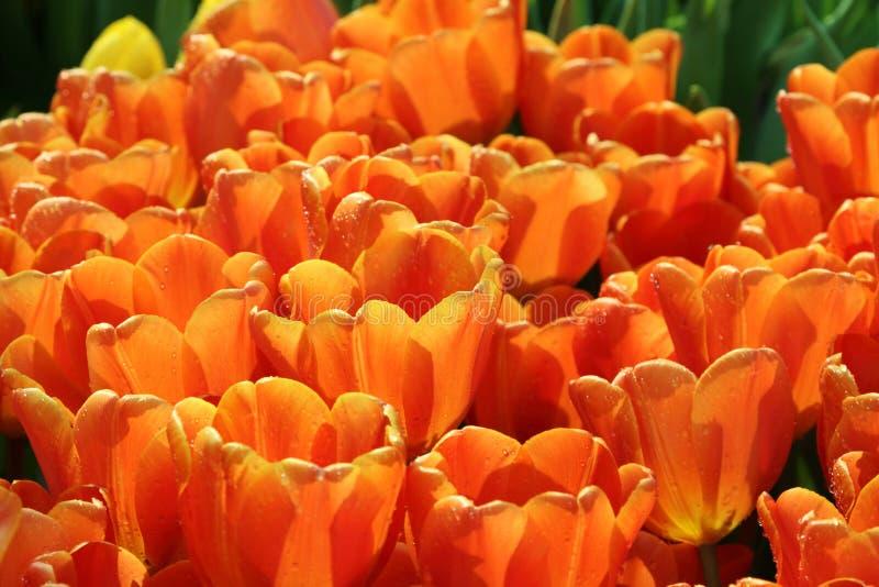 Tulipan 19 zdjęcie stock